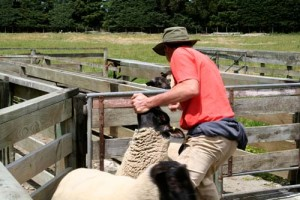 NZ_Sheep_farmer