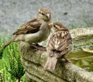 british-house-sparrows