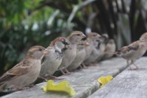 covean-cottage-sparrows